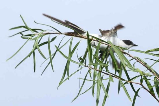 Tijereta/Foirk-tailed Flycatcher