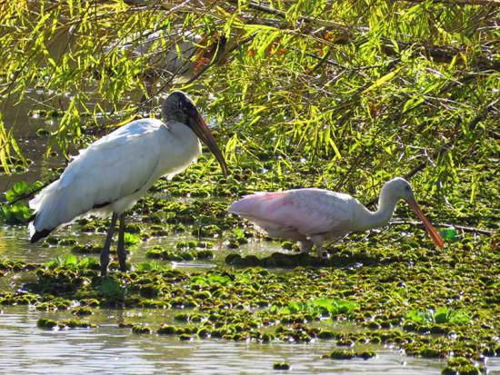 Tuyuyú-espátula/Wood Stork-Spoonbill