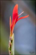 Achira roja/Indian shot