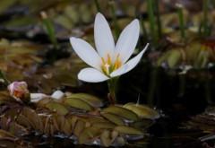 Axucenita del campo/Zephir Lily