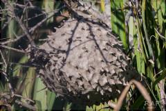 Camuatí/Camuati wasp nest