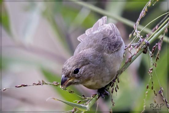 Corbatita común/Double-collared Seedeater