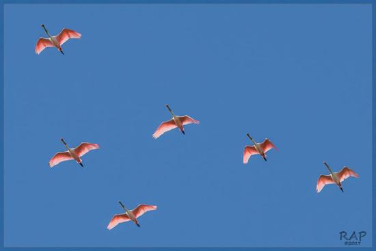 Espáutla rosada/Roseate Spoonbill