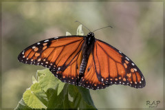 Monarca/Monarch