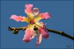 Palo borracho/Silk floss tree