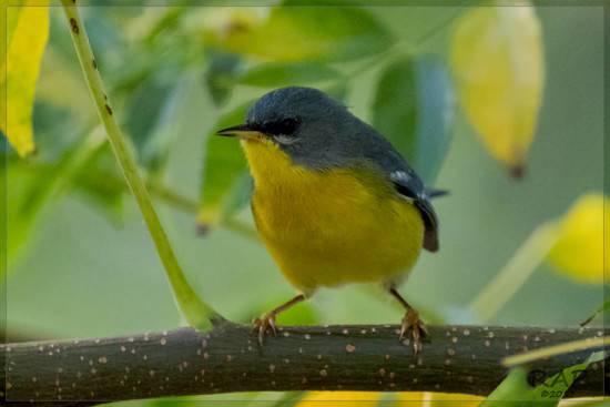 Pitiayumí/Masked Yellowthroat