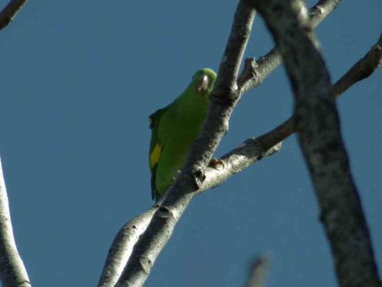 Catita chirirí/Yellow-chevroned Parakeet