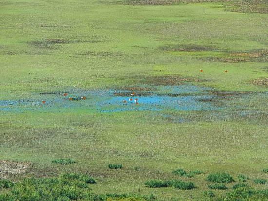 Cisnes en Gaviotas/Swans in Gull Pond