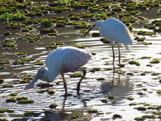 Espátula - gracita/Spoonbill - egret
