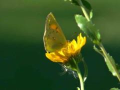 Isoca de la alfalfa/Lesbia Sulphur