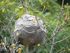 Lechiguana/Lechiguana wasp nest