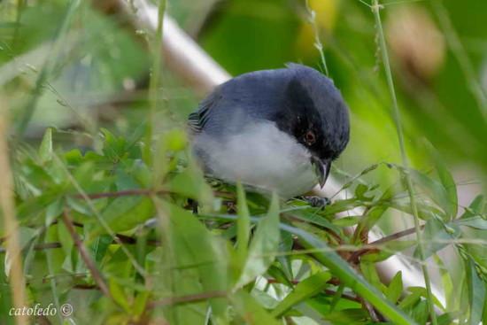Monterita cabeza negra/Black-capped Warbling Finch
