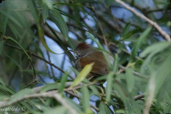 Pijuí frente grís/Sooty-fronted Spinetail