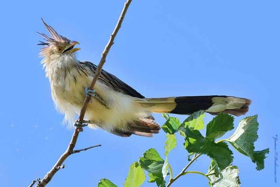 Pirincho Guira cuckoo