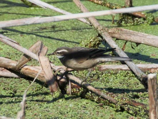 Remolinera común/Bar-winged Cinclodes