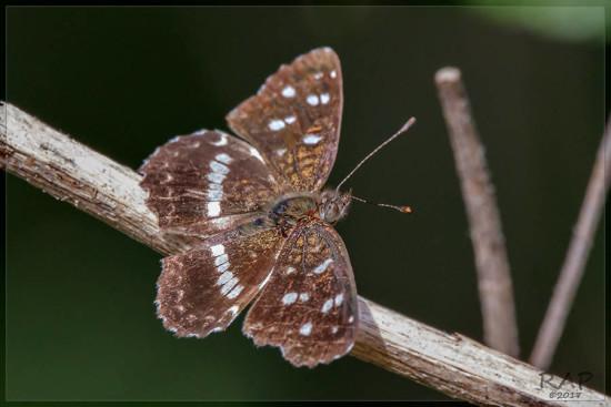 Bataraza/Ithra crescent