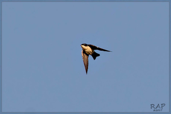 Golondrina barranquera/Blue-and white Swallow