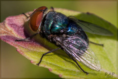 Mosca azul/Blue-bottled fly