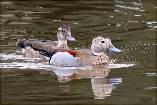 Pato de collar/Ringed Teal