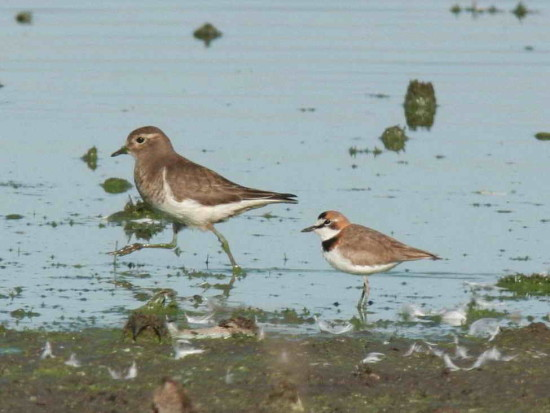 Chorlitos/Plover and Dotterel
