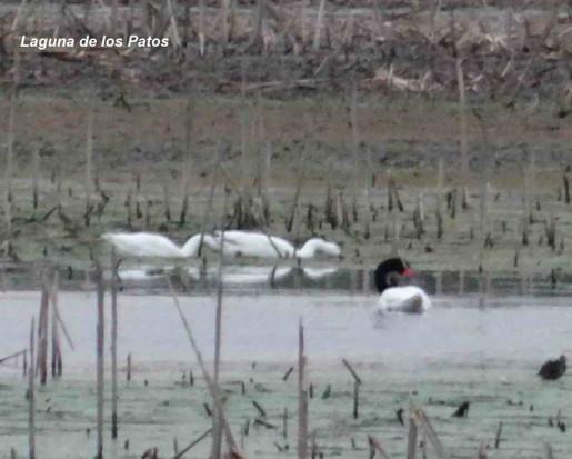 Cisnes/Swans