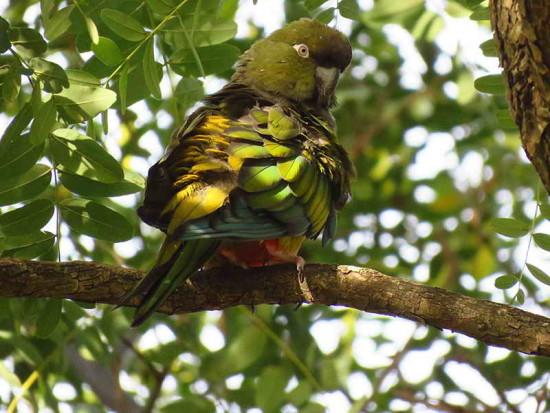 Loro barranquero/Burrowing Parrot