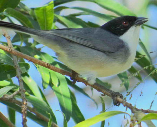 Monerita cabeza negra/Black-capped Warbling-Finch