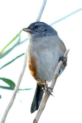 Monerita litoraleña/Grey-throated Warbling-Finch