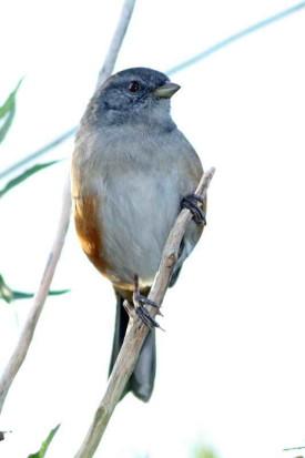 Monerita litoraleña/Grey-throated Warbling-Finch