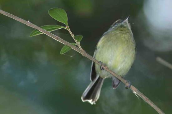 Mosqueta común/Mottle-cheeked Tyrannulet