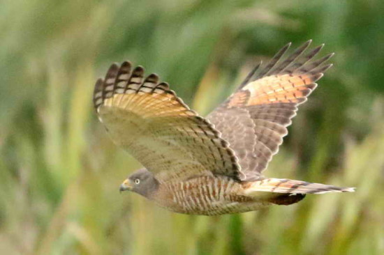 Tguató común/Roadside Hawk