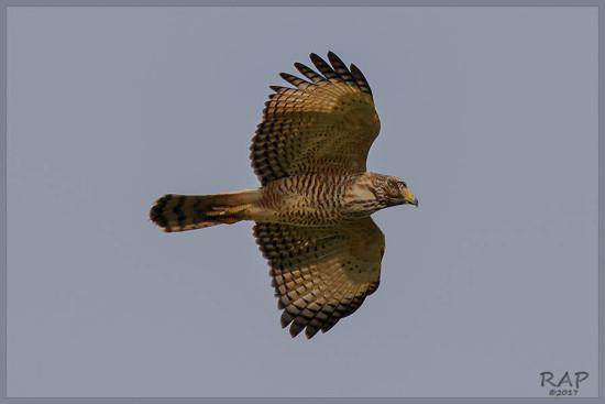 Taguató/Roadside Hawk