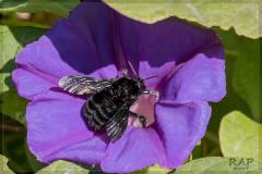 Abejorro/Bumblebee