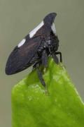 Encophyllum melaleucum