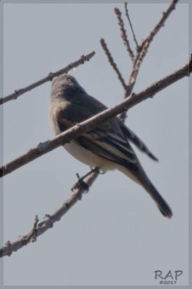 Piojito silbón/Southern Beardless-Tyrannulet