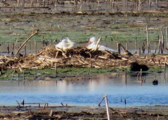 Coscoroba/Coscoroba Swan