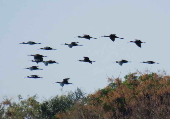 Cuervillo de cañada/White-faced Ibis