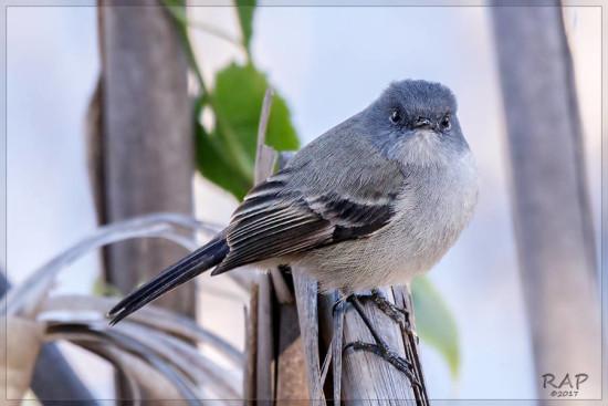 Piojito gris/Sooty Tyrannulet