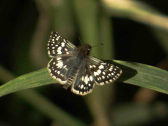 Ajdrezada menor/Argentine Checkered Skipper