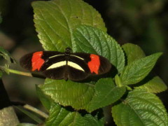 Almendra/Banded Longwing