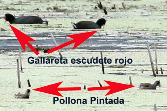 Gallareta-pollona/Coot-Gallinule