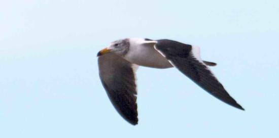 Gaviota cnagrejera/Olrog's Gull