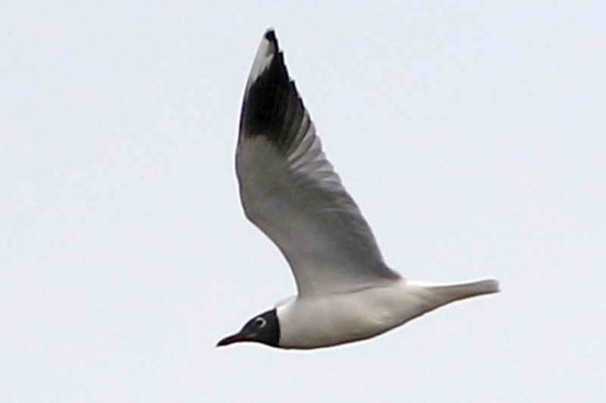 Gaviota capucho café/Brown-hooded Gull