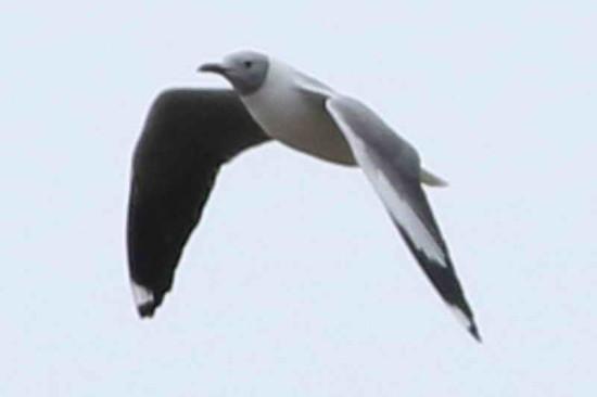 Gaviota capucho gris/Grey-hooded Gull