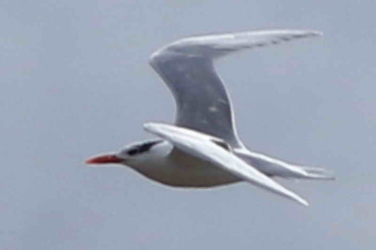 Gaviotín real/Royal Tern