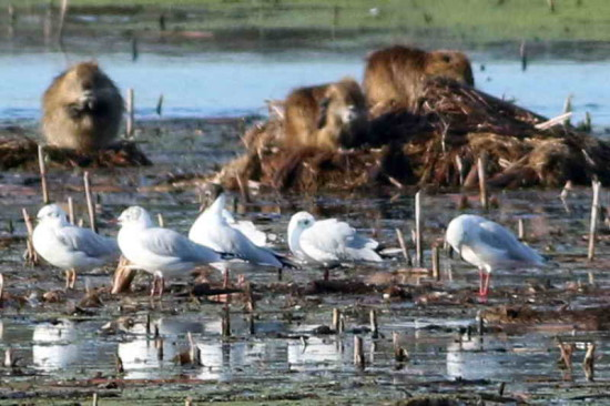 Gaviotas capucho/Hooded gulls