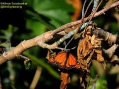 Moarca/Monarch
