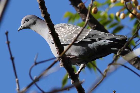 Paloma manchada/Spot-winged Dove