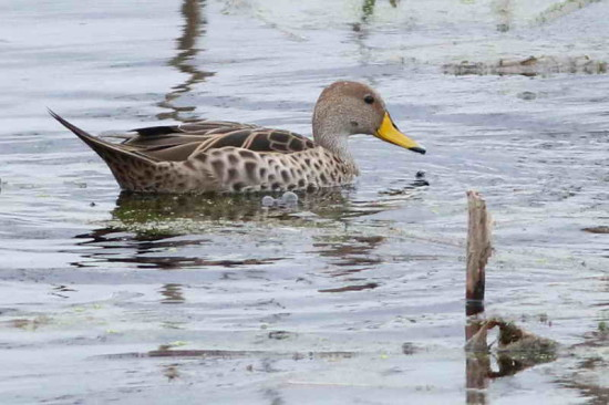 o maicero/Yellow-billed Pintail