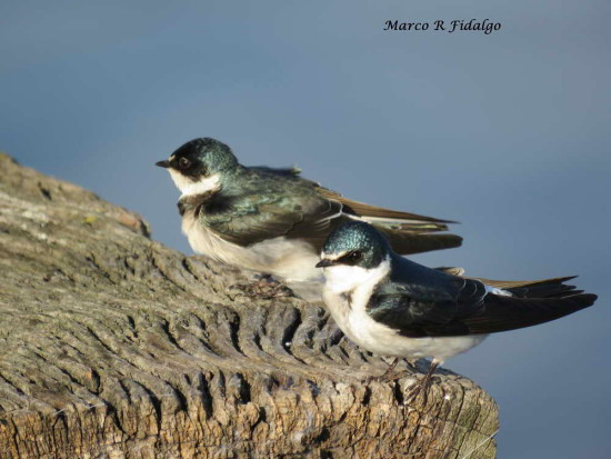 Goloncrina ceja blanca/White-rumped Swallow